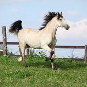 Beautiful Palomino Horse Running