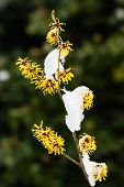 Witch Hazel, Hamamelis