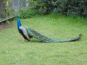picture of indian peafowl  - Image of a wild Indian Peafowl  - JPG
