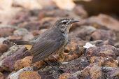 Mouse Brown Sunbird (anthreptes Gabonicus) Standing On Stones