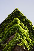 picture of climber plant  - roof corner covered by green climber plants - JPG