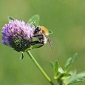 stock photo of bumble bee  - A bumble bee collecting nectar - JPG