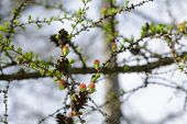 Small Buds On Larch Tree