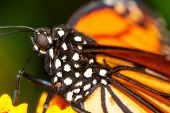 Orange black monarch butterfly macro