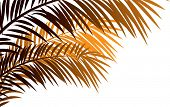 Vector illustration of needleleaf palm tree.