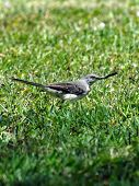 Northern Mockingbird with Millipede caught in it's Beak