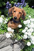 Longhair dachshund puppy outside surrounded by spring flowers.