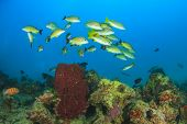 School yellow snapper fish on reef with sponge