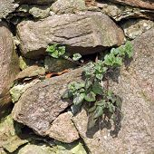 A Deadnettle Grows In Wall Crevice, Lamium Purpureum