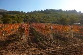 Rural Autumn Vineyard