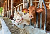 picture of cattle breeding  - Thai cows feeding hay in the farm - JPG