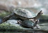 Big And Small Turtle Basking