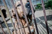 picture of mutts  - close up on amstaff mutt dog behind the bars - JPG