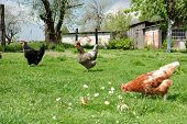 picture of chicken-wire  - Three chickens in the yard pecking crumbs of bread - JPG