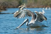 A Pink-backed Pelican Hunting Fish