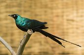Long-tailed Starling With Short Tail Feathers