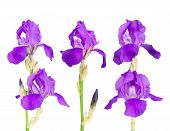 stock photo of purple iris  - collection of purple iris isolated on the white background - JPG