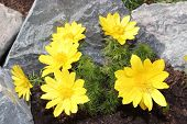 picture of adonis  - Flowers adonis blossoming in the garden in early spring