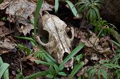 stock photo of backwoods  - Old skull of a predator in the backwoods - JPG