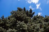 Crone Of The Colorado Blue Spruce