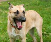 Large Yellow Dog In Red Collar Yawns