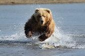picture of omnivore  - Grizzly Bear jumping and splashing at fish - JPG