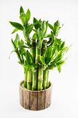 Isolated Lucky Bamboo Plant