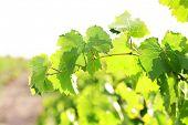 Grape leaves, close-up