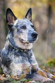 picture of cattle dog  - Beauty Australian cattle dog lying amongst autumn leaves