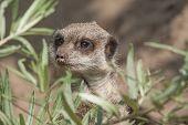 image of meerkats  - A meerkat explores the beautiful green environment - JPG