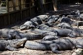 Alligators Resting in Alligator Pit
