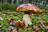 stock photo of boletus edulis  - Boletus edulis edible mushroom in the forest - JPG