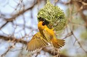 Southern Masked Weaver - Wild Bird Background - Building a Home