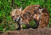 Red Fox Vixen (vulpes Vulpes) Looks Up From Digging At Den Site