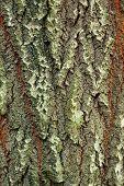 Background Of Bark Of White Poplar, Populus Alba, Closeup