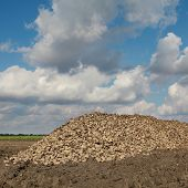 Agriculture, Sugar Beet, Root Harvesting In Field