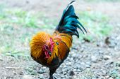 Rooster with Puffed Up Neck Feathers