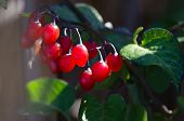 Plump Red Berries Hanging Among The Green Foliage