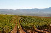 grape vine rows in a Calif vineyard