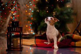 image of puppy christmas  - Dog Jack Russell Terrier at the Christmas tree - JPG