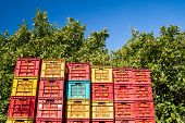 foto of orange-tree  - Red and yellow plastic fruit boxes full of oranges by orange trees during harvest season in Sicily - JPG