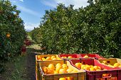 picture of orange-tree  - Red and yellow plastic fruit boxes full of oranges by orange trees during harvest season in Sicily - JPG