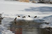pic of duck pond  - The ducks floating in a winter pond - JPG