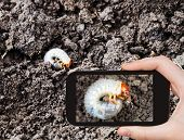 stock photo of grub  - garden concept - man taking photo of white grub of cockchafer on ground on mobile gadget in soil ** Note: Shallow depth of field - JPG