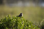 pic of bittersweet  - White Crowned Sparrow spotted in Heron - JPG