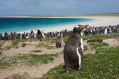 pic of falklands  - Gentoo Penguin  - JPG