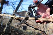 picture of prunes  - Spring pruning branches of grapes in the garden - JPG