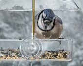 foto of blue jay  - Large blue jay bird in window attached birdfeeder on a wet cold day in winter - JPG