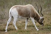 foto of veld  - An endangered Addax grazes on the African savannah - JPG