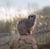 picture of west midlands  - Meerkat perched on stone at West Midlands Safari Park - JPG
